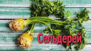 СЕЛЬДЕРЕЙ - полезнейший овощ для здоровья