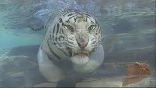 The Best White Tiger Swimming - Majestic Big Cat