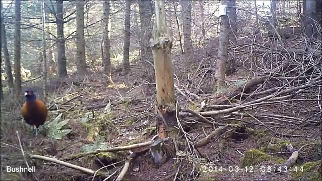 Pheasant hotspot - Redcap Forest camera trap (B4) - YouTube