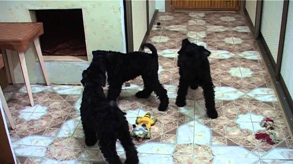 Прогулка с Шелти\ Walking with a sheltie dog - YouTube