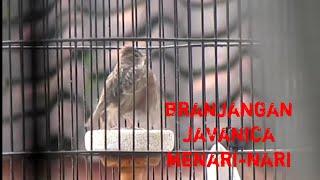 Kicau burung branjangan javanica javanica