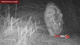 Тигрица с тигренком утащили двух служебных собак у  пограничников в Уссурийске