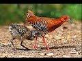 Suara Burung Sawah Tututan Mikat Jitu