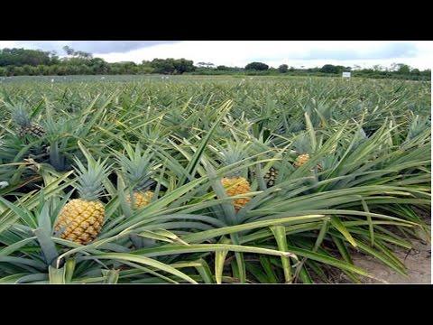 Curso Produção de Abacaxi - Plantio das Mudas