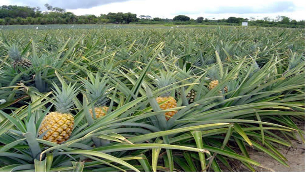 Resultado de imagem para plantação de abacaxi