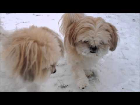 Playing In The Snow Shih Tzu Coton De Tuléar Youtube