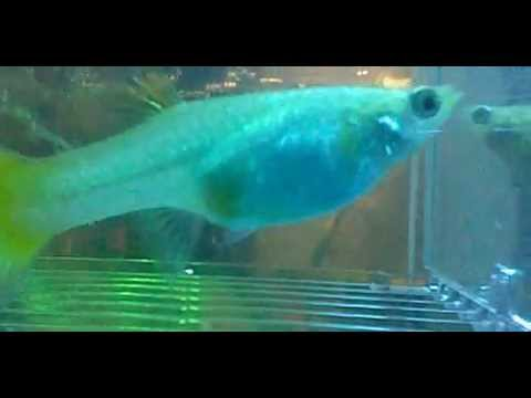 when-is-my-guppy-going-to-give-birth??-help!!