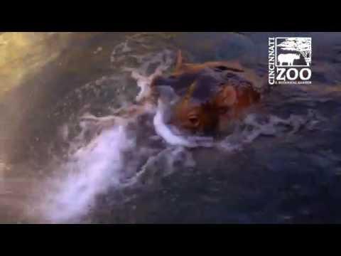 Hippos Love Being Sprayed with Water - Cincinnati Zoo