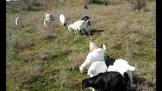 Как раздаиваю коз. Продать/купить на Авито...