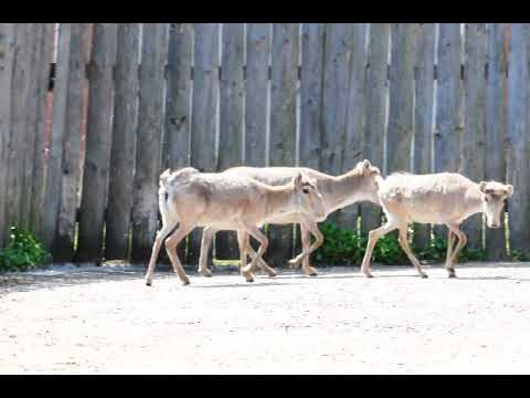A group of females of Russian saiga antelope