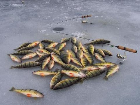 Jumbo perch ice fishing youtube for Ice fishing youtube