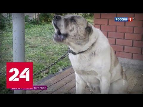 Два жутких нападения алабаев в Подмосковье: женщина осталась без руки - Россия 24