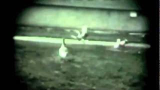 Swift Stream Duck Farm 1935-1938 Moriches, LI, NY