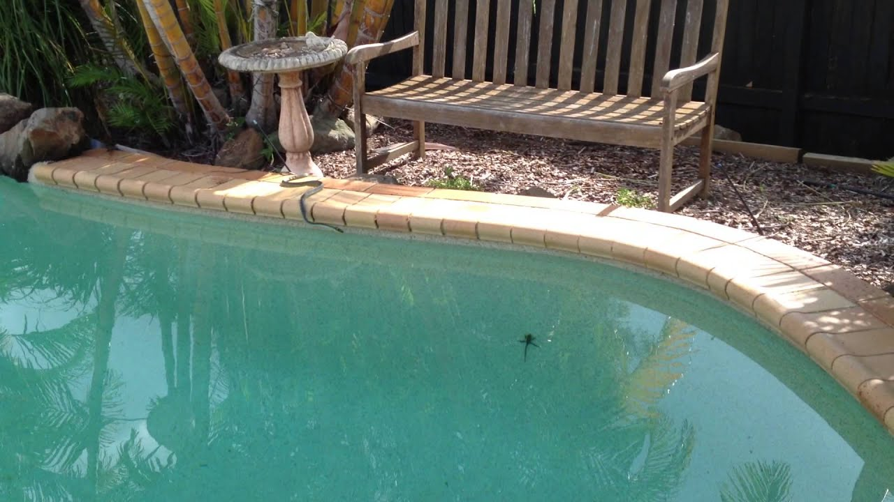 Snake attacking a water dragon lizard in our swimming pool for Pool show brisbane