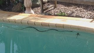 Snake attacking a water dragon lizard in our swimming pool in Brisbane Australia