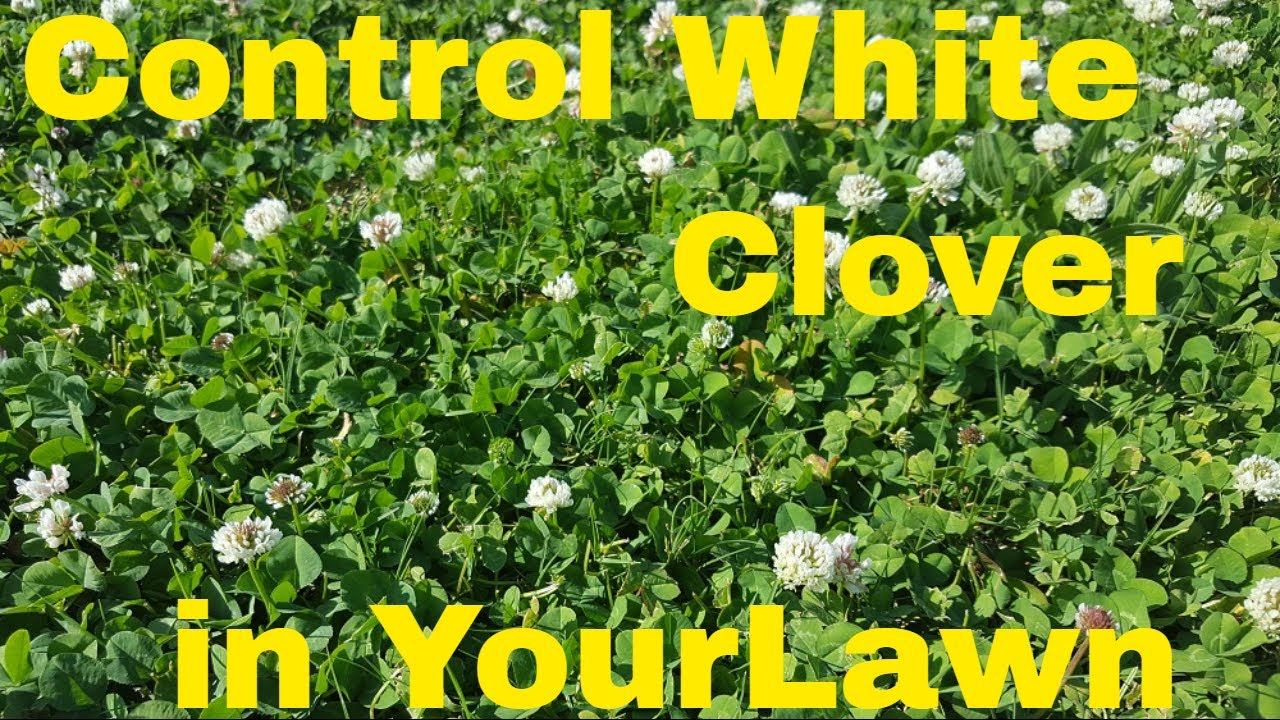 How To Kill White Clover Field Test With 4 Products Youtube