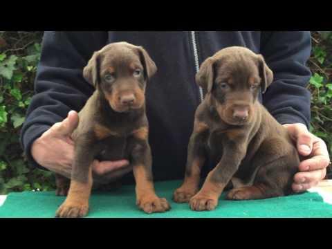 Brown Doberman Males For Sale