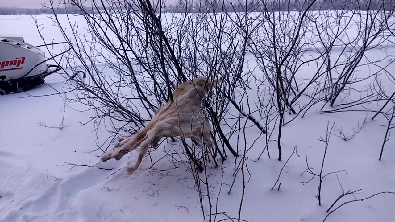 Петли на волка фото