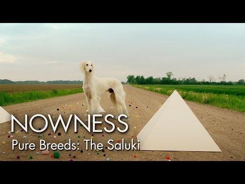 "Episode 3: Pure Breeds ""The Saluki"" by Graydon Sheppard"