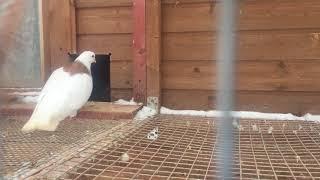Высоколётные голуби в Обнинске. -Продолжение.