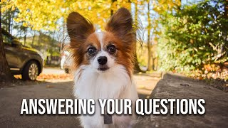 Q&A With Percy the Papillon (and his Person) // Percy the Papillon Dog