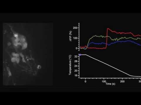 PNAS : Sensory determinants of behavioral dynamics in Drosophila thermotaxis