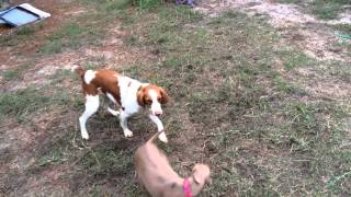 pit bull mix, brittany, and italian greyhound playin in the yard