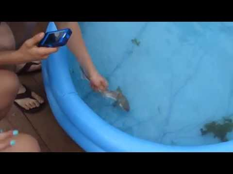 Thumbnail: Baby Shark in a Swimming Pool (NOTE: the Dogfish Shark was NOT harmed)