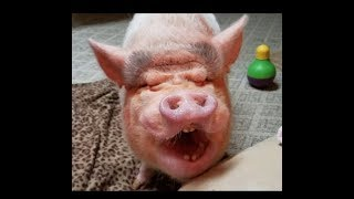 THE FUNNIEST MINI PIG & AFRICAN GREY VIDEO 😂 SHARE SHARE SHARE!