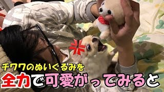 子犬 #チワワ #みるく みるくちょっと怒っちゃったかな?(´゚д゚`) くる...