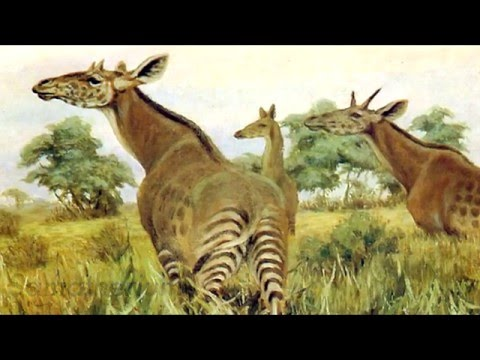 How did the Giraffe Evolve?