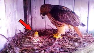 Мужчина положил в орлиное гнездо яйцо от курицы.  Вот что случилось с цыпленком!