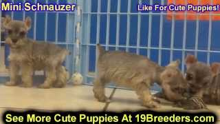 Miniature Schnauzer, Puppies, For, Sale, in, Mobile, County, Alabama, AL, Huntsville, Morgan, Calhou
