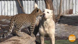Про овчарку и леопардов. 20.03.2018