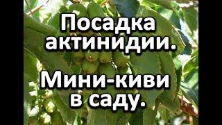 Посадка актинидии или как вырастить киви в саду?!