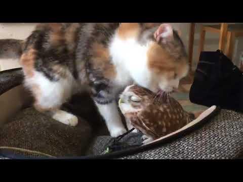 Cat Licks Owl - 989306