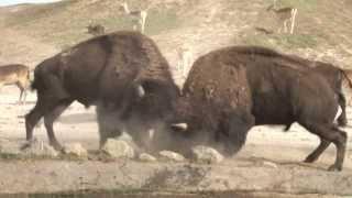 アメリカバイソンの壮絶な戦い。動物の世界では、本気が当たり前。食う...