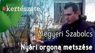 Buddleja davidii - Nyári orgona metszése - Megyeri Szabolcs Kertészet webáruház