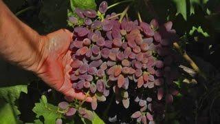 Виноград на Полтавщине. Сорта винограда кишмиш отзывы.(Какой кишмишный сорт винограда можно посадить на участке в Полтавской области? В качестве ответа на этот..., 2017-01-09T17:39:01.000Z)