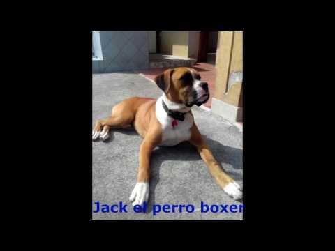 Perro boxer haciendo el muerto