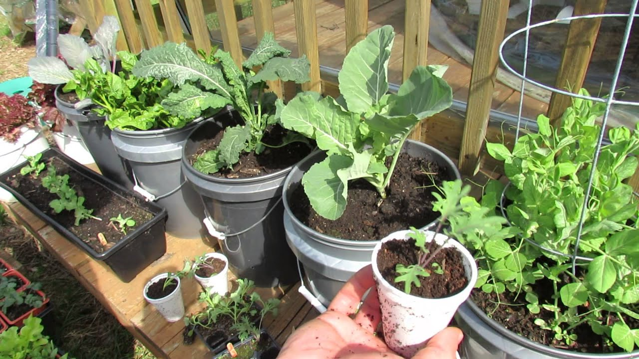 Growing Kale & Collards In Containers: Patio Garden