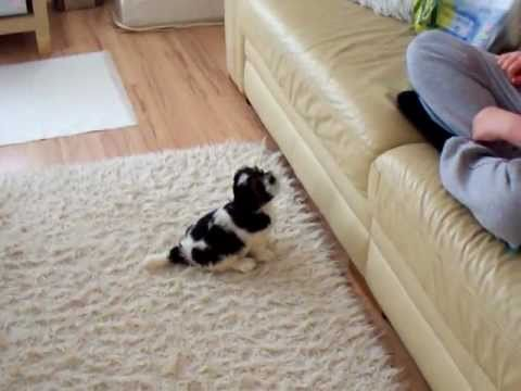 Lhasa Apso Cute Puppy Trying to Jump on sofa