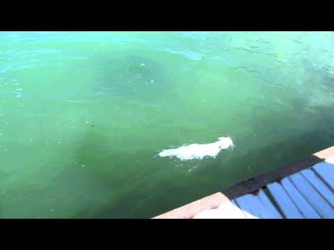 A 'Van Cat' Swimming