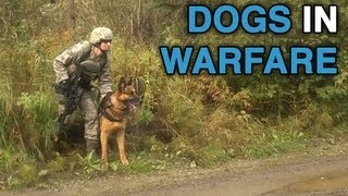 Military Working Dogs Training At Camp Madbull. Part 2/2