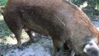 PIGS FOR SALE: Pair of Red Waddle Breeders - Sow & Boar