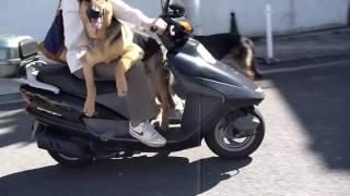 リッキーもRagもバイク乗り犬だったけど、Rushもついにバイク乗りに!