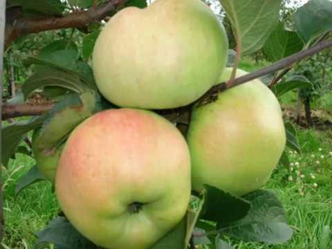 Яблоня Мельба- описание сорта  # особенности посадки