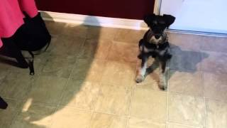 Raw Food Diet For Miniature Schnauzer