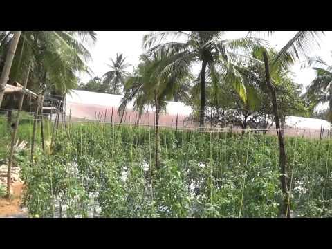 Bharat Thakur Organic Farm Delhi Plot (Tomato)