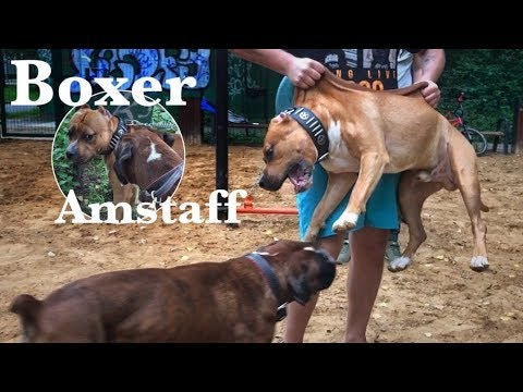 Amstaff And Boxer Dog. A Tense Meeting Of The Dogs